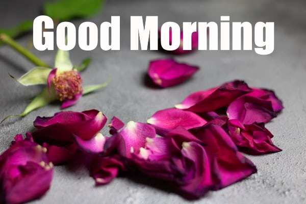 Best Good Morning Rose Flower Image