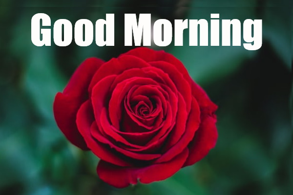 Best Good morning images with rose flowers